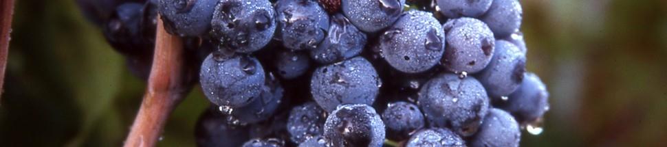 Primitivo di Manduria DOC: vino rosso e intenso di Puglia
